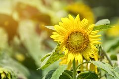 Close-up  Sunflower in Garden morning. Stock Image