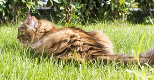 Beauty brown mackerel cat lying on the grass green Royalty Free Stock Photography