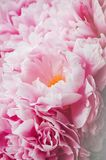 Beauty bunch of pink peonies peony flowers. Floral background. Spring or summer lovely bouquet. Bloom love concept. Card, text pla Royalty Free Stock Photos