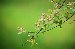 Beauty bush blooming in spring. Beauty bush buds blooming in spring. Kolkwitzia amabilis stock photo