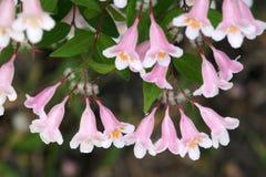 Beauty Bush. The close-up of flowers of Beauty Bush. Scientific name: Kolkwitzia amabilis Graebn royalty free stock photos