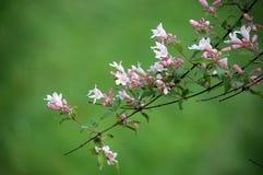Beauty bush flowers blooming in spring. Kolkwitzia amabilis stock images