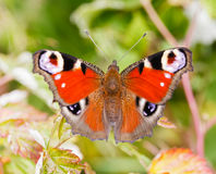 Beauty Butterfly Royalty Free Stock Photos