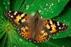 Beauty butterfly on leaf Royalty Free Stock Photography
