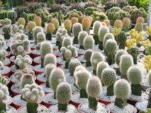 The beauty cactus. The asia young cactus is show on Lunar year Royalty Free Stock Photos