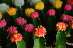 The beauty of cactus. Stock Images