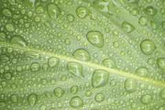 Beauty of Canna Leaves with Raindrops Stock Images