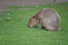 Capybara walking on the lawn stock image