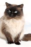 Beauty cat. A cat breed in snow Stock Images