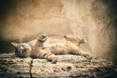 Beauty cat Royalty Free Stock Images