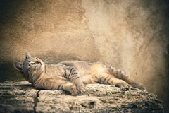 Beauty cat Stock Photography