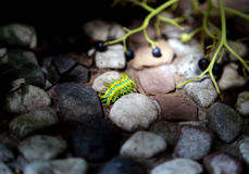 The beauty of the caterpillar,Green with blue streaks of insects, crawling on the stone Royalty Free Stock Photography