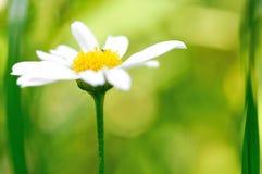 Beauty chamomile Stock Photo