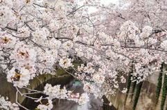 Beauty Cherry Blossom over the river Stock Image