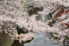 Beauty Cherry Blossom over the river -spring-Tokyo Royalty Free Stock Photos