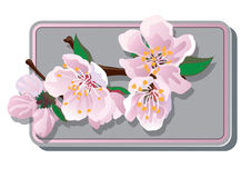 Cherry blossoms card Stock Photography