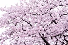 Cherry blossoms scene Royalty Free Stock Image