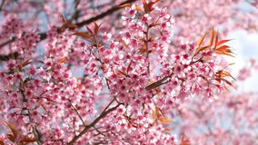 Beauty cherry flowers in spring season.  stock video