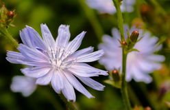 Common chicory - Selective focus Royalty Free Stock Image