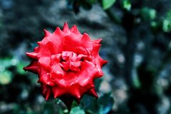 The Beauty of Chinese rose Royalty Free Stock Photo