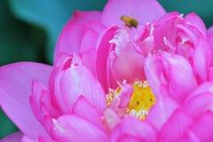 Beauty~Close-up лотоса Стоковое фото RF