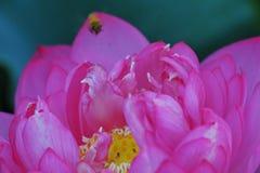 Beauty~Close-up лотоса Стоковые Изображения RF