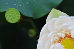 Beauty~Close-up лотоса Стоковое Изображение