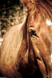 Beauty. Close-up of brown horse gazing forward royalty free stock images