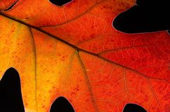 Beauty of a Colorful Autumn Leaf Royalty Free Stock Images