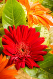 The beauty of colorful gerbera flowers in summer. Royalty Free Stock Photos