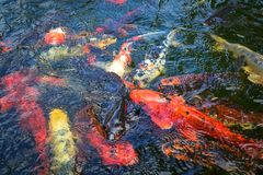 Koi fish in the pond. royalty free stock images