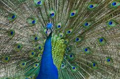 Beauty Colorful peacock Stock Images