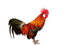 Beauty colorful rooster Stock Images