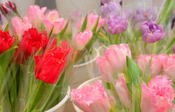 Beauty colorful tulip in pot of flower shop, Selective focus Stock Photography
