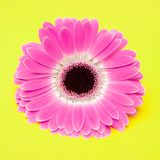 Cute pink flower on yellow background Royalty Free Stock Images