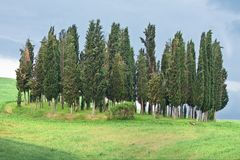Beauty cypress grove Stock Photos