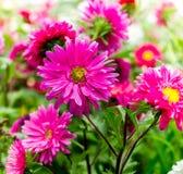 Beauty daisies flower Stock Photos