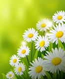 Beauty daisy flowers background Stock Image