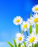 Beauty daisy flowers background for you design. Illustration of Beauty daisy flowers background for you design Royalty Free Stock Image