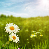 Beauty daisy flowers on the meadow Royalty Free Stock Photo