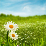 Beauty daisy flowers on the meadow Royalty Free Stock Image