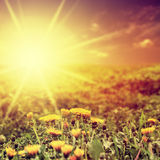 Beauty. Dandelion field and sunset. Royalty Free Stock Photo