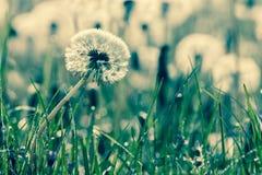 Beauty of dandelions Stock Photo