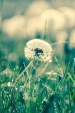 Beauty of dandelions Stock Photography