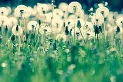 Beauty of dandelions Stock Photos