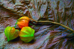 The beauty of decay. Arrangement of physalis blossoms on a dry leaf Royalty Free Stock Photography