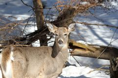 Beauty deer Stock Images