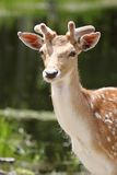 Beauty deer Royalty Free Stock Photography