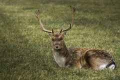 Beauty deer lying down on the grass royalty free stock image