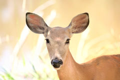 Beauty deer in nature Royalty Free Stock Photo
